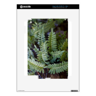 Resurrection Fern - Polypodium polypodioides Skins For The iPad 2