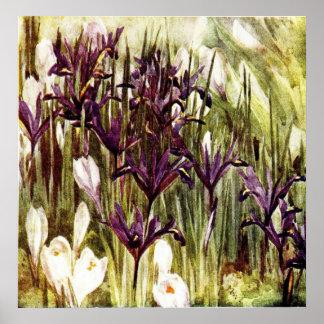 Reticulata y azafrán del iris poster