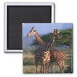Reticulated Giraffe 2 2 Inch Square Magnet