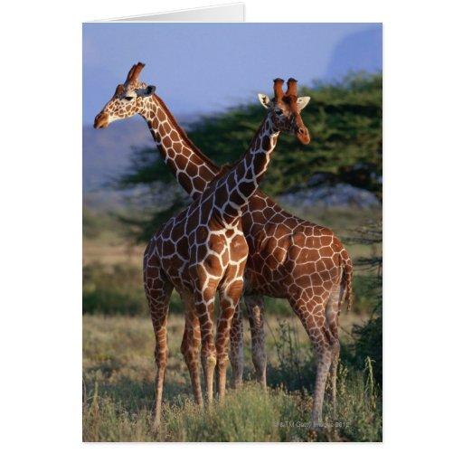 Reticulated Giraffe 2 Greeting Card