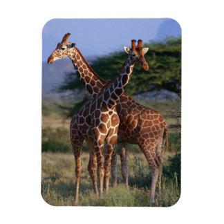 Reticulated Giraffe 2 Magnet