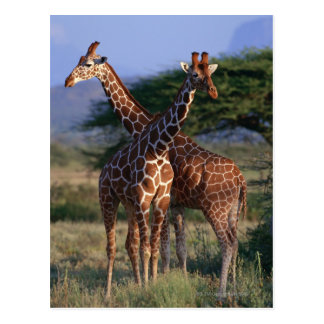 Reticulated Giraffe 2 Post Card