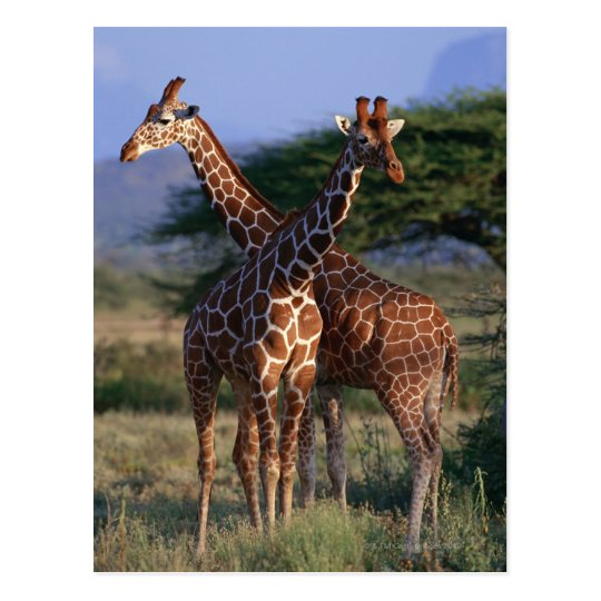 Reticulated Giraffe 2 Postcard