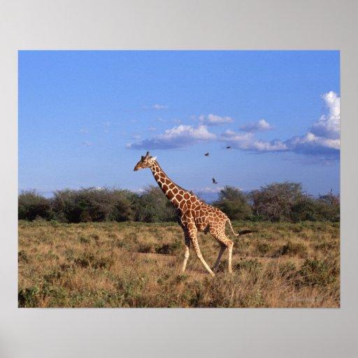 Reticulated Giraffe 2 Posters