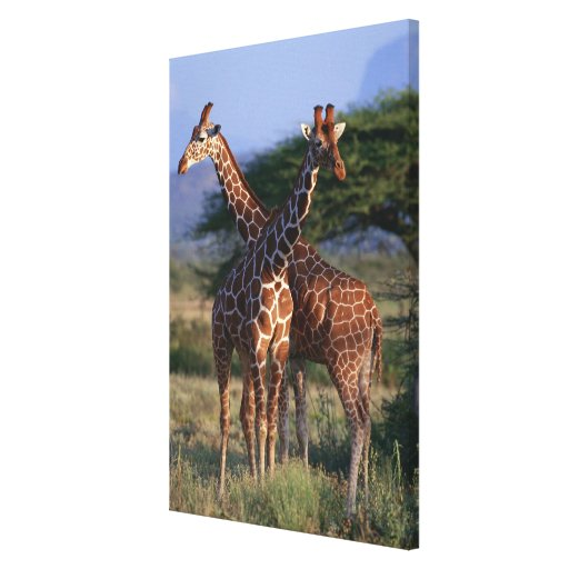 Reticulated Giraffe 4 Stretched Canvas Prints