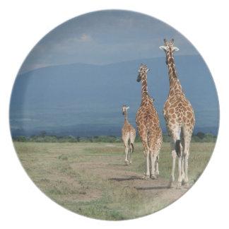 Reticulated Giraffe (Giraffa camelopardalis) 2 Plate
