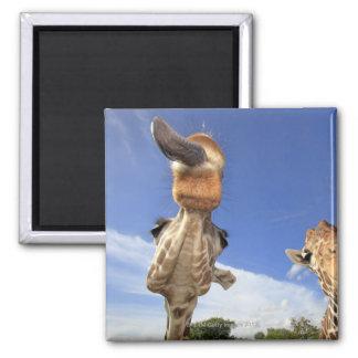 Reticulated Giraffe (Giraffa camelopardalis) 3 Magnet