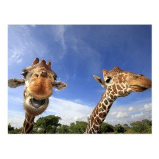 Reticulated Giraffe (Giraffa camelopardalis) Postcard