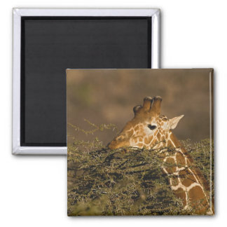 Reticulated Giraffe, Giraffe camelopardalis Magnet