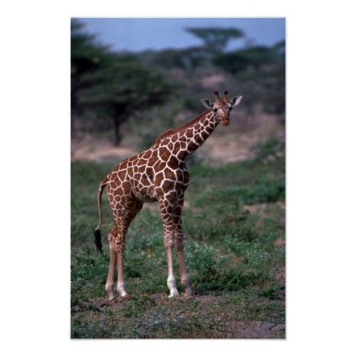 Reticulated Giraffe Posters