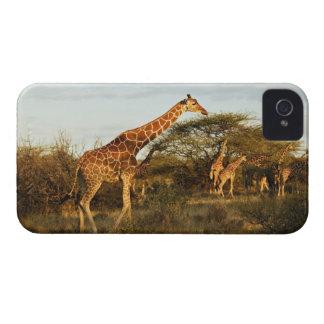 Reticulated Giraffes Giraffe camelopardalis 2 Blackberry Bold Case