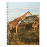 Reticulated Giraffes, Giraffe camelopardalis 2 Spiral Notebook