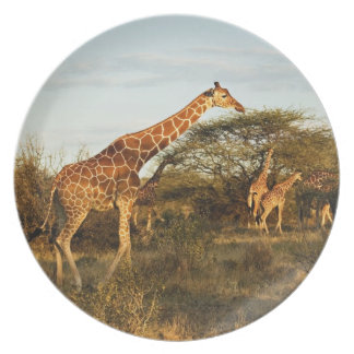 Reticulated Giraffes, Giraffe camelopardalis 2 Plate