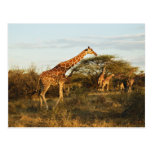 Reticulated Giraffes, Giraffe camelopardalis 2 Post Cards