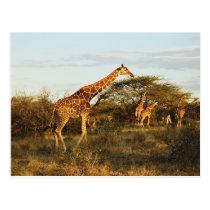 Reticulated Giraffes, Giraffe camelopardalis 2 Postcard