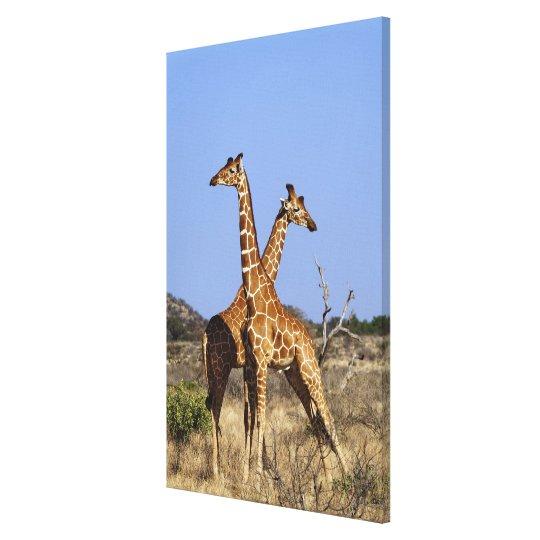 Reticulated Giraffes, Giraffe camelopardalis 3 Canvas Print