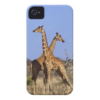 Reticulated Giraffes Giraffe camelopardalis 3 Blackberry Cases