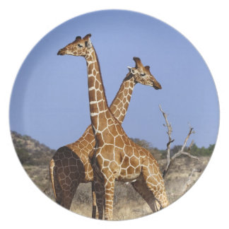 Reticulated Giraffes, Giraffe camelopardalis 3 Plate