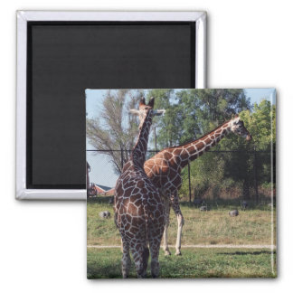 Reticulated Giraffes Magnet