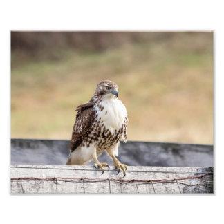 retrato 10x8 de un halcón atado rojo no maduro fotografías