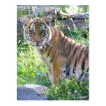 Retrato 2 de Cub de tigre Postal
