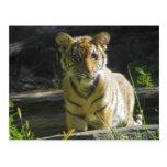Retrato 4 de Cub de tigre Postales