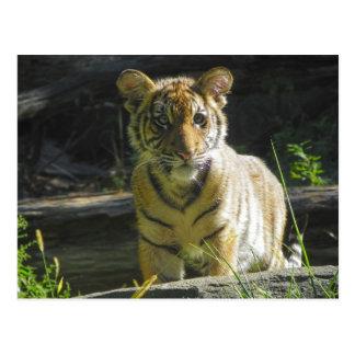 Retrato 4 de Cub de tigre Postal
