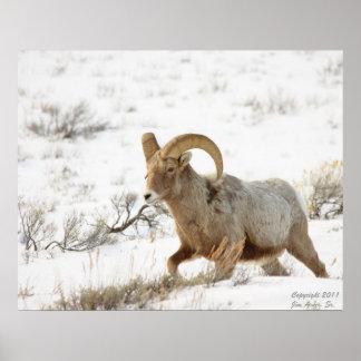 Retrato 4 de las ovejas de Bighorn Posters