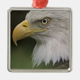 Retrato adulto de Eagle calvo Haliaeetus Ornamentos De Reyes Magos