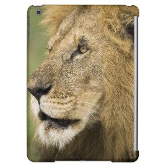 Retrato africano del león, Panthera leo, en