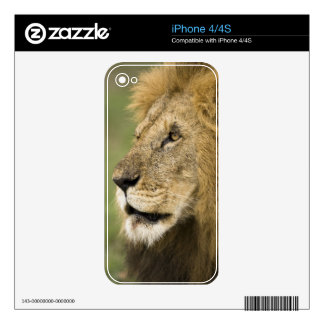 Retrato africano del león, Panthera leo, en iPhone 4 Skins