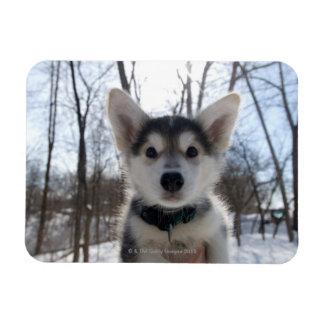 Retrato al aire libre del perrito fornido del perr imán rectangular