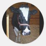 Retrato ascendente cercano de la vaca pegatina redonda