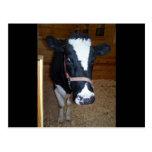 Retrato ascendente cercano de la vaca postal