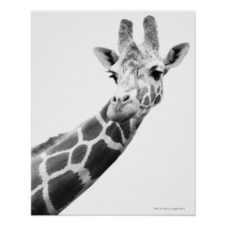 Retrato blanco y negro de una jirafa poster