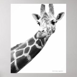 Retrato blanco y negro de una jirafa póster