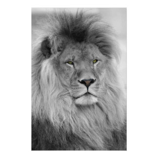 Retrato blanco y negro del león póster
