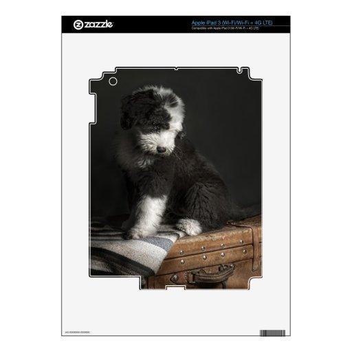 Retrato Bobtail del perrito en estudio Pegatina Skin Para iPad 3