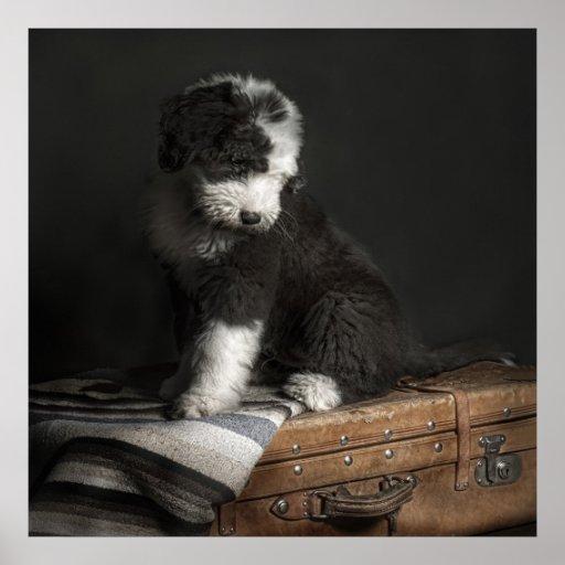 Retrato Bobtail del perrito en estudio Póster