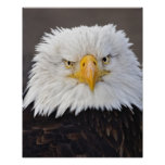 Retrato de Eagle calvo, Eagle calvo en vuelo, Poster