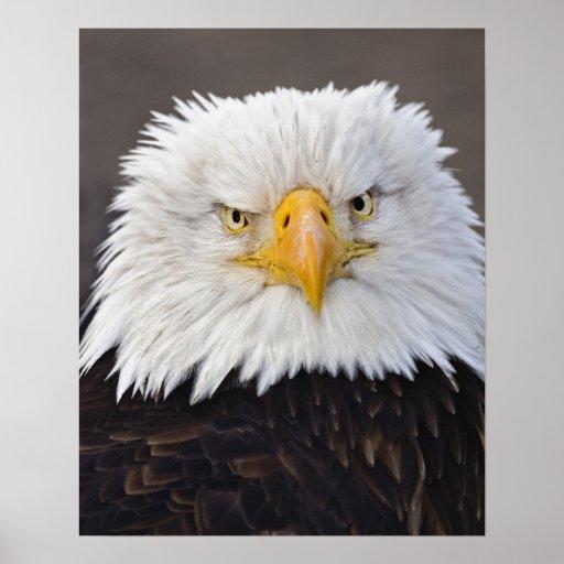 Retrato de Eagle calvo, Eagle calvo en vuelo, Póster