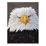 Retrato de Eagle calvo, Eagle calvo en vuelo, Tarjetas Postales