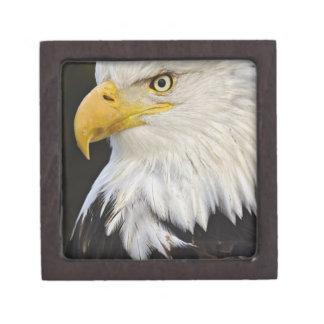 Retrato de Eagle calvo, leucocephalus de Haliaetus Cajas De Recuerdo De Calidad