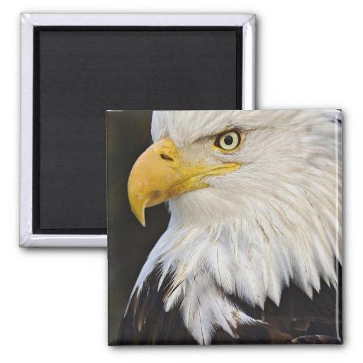 Retrato de Eagle calvo, leucocephalus de Haliaetus Iman