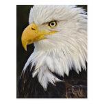 Retrato de Eagle calvo, leucocephalus de Haliaetus Tarjetas Postales