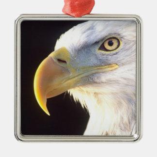 Retrato de Eagle calvo, leucocephalus del Adorno Cuadrado Plateado