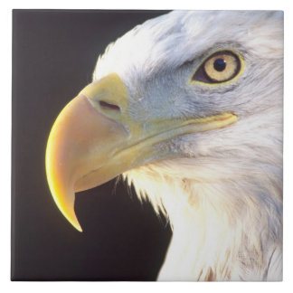 Retrato de Eagle calvo, leucocephalus del Haliaeet Azulejo Cuadrado Grande