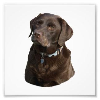 Retrato de la foto de Labrador del chocolate Fotografía