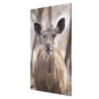 Retrato de la gama de los ciervos del Sambar (Rusa Lona Envuelta Para Galerías
