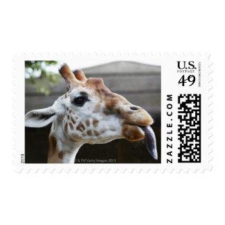 Retrato de la jirafa (camelopardalis del Giraffa) Estampillas